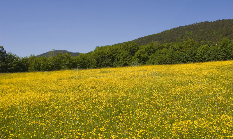 Field of yellow flowers stock image