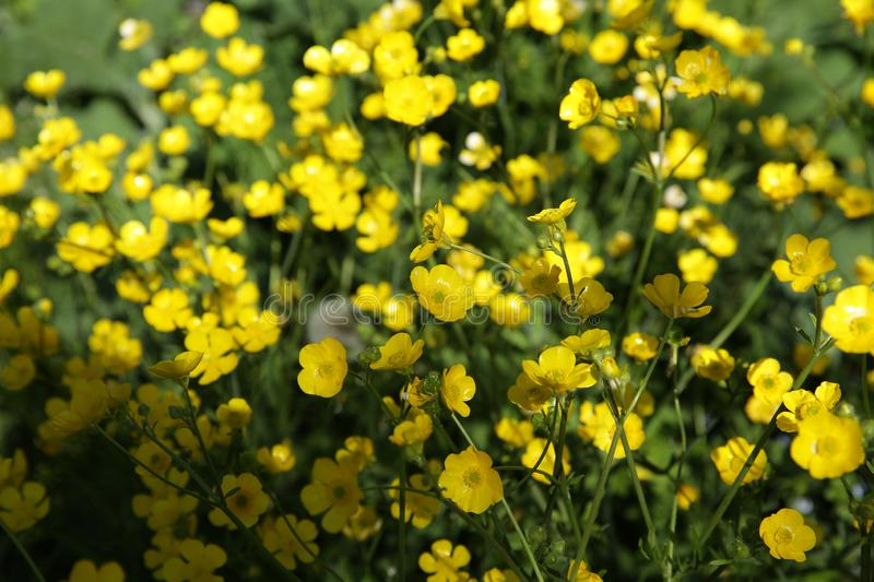 Field of yellow flowers of celandine. For background and texture royalty free stock photo