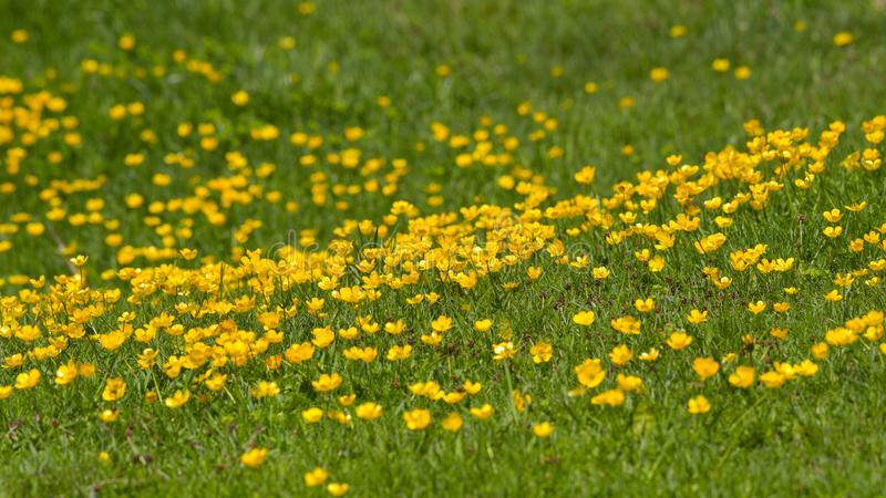 Field of yellow flowers in the high mountains. In august stock photo