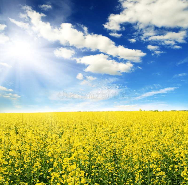 Field of yellow flowers and sun sky stock photo