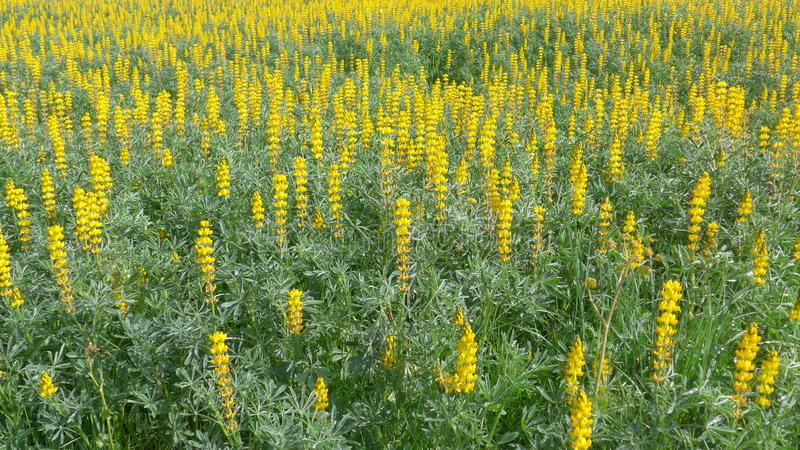 Field with yellow lupins lupinus albus in spring at the Algarve in Portugal stock image