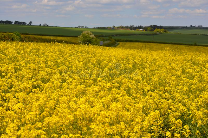 Field of yellow oilseed rape in the spring. Agricultural landscape. Field of rapeseed Brassica napus, also known as rape or oilseed rape, source of vegetable oil stock photo