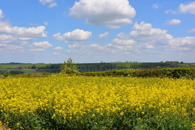 Field of yellow oilseed rape in the spring. Agricultural landscape. Field of rapeseed Brassica napus, also known as rape or oilseed rape, source of vegetable oil royalty free stock photos
