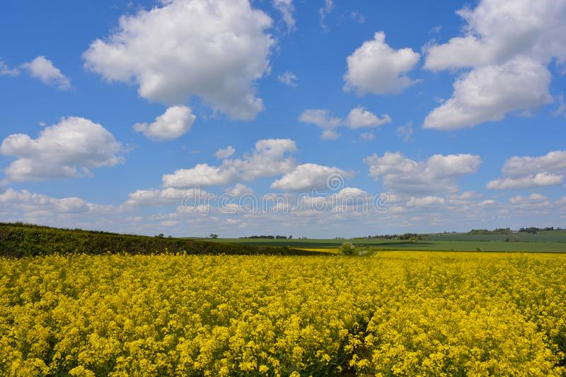 Field of yellow oilseed rape in the spring. Agricultural landscape. Field of rapeseed Brassica napus, also known as rape or oilseed rape, source of vegetable oil stock photos