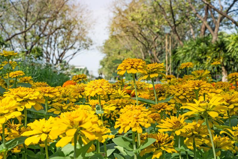 A field of yellow and orange petals Zinnia blooming on green leaves, trees on background under white sky, know as Zinnia elegans. Is an annual flowering plant stock images