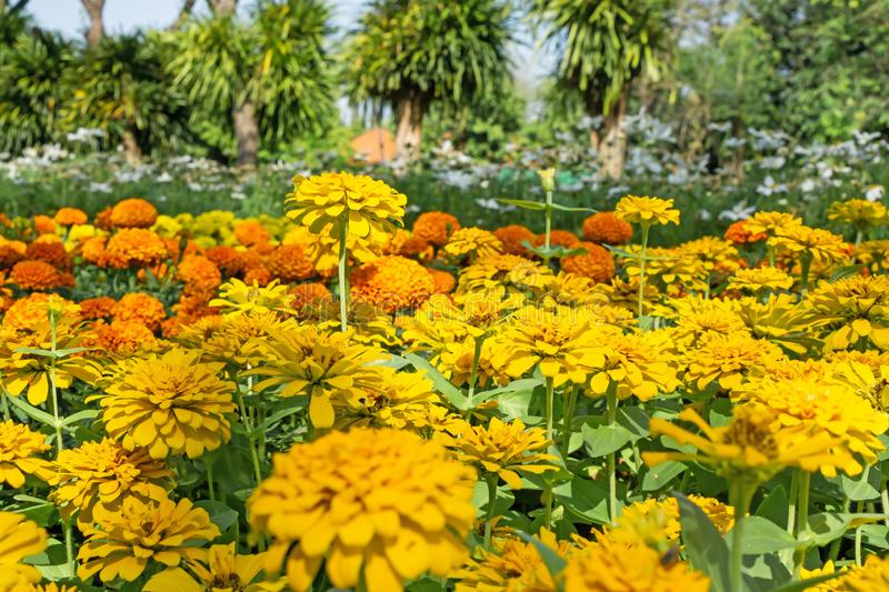 A field of yellow petals Zinnia blooming and green leaves on orange marigold background under the trees, know as Zinnia elegans. Is an annual flowering plant in stock photography