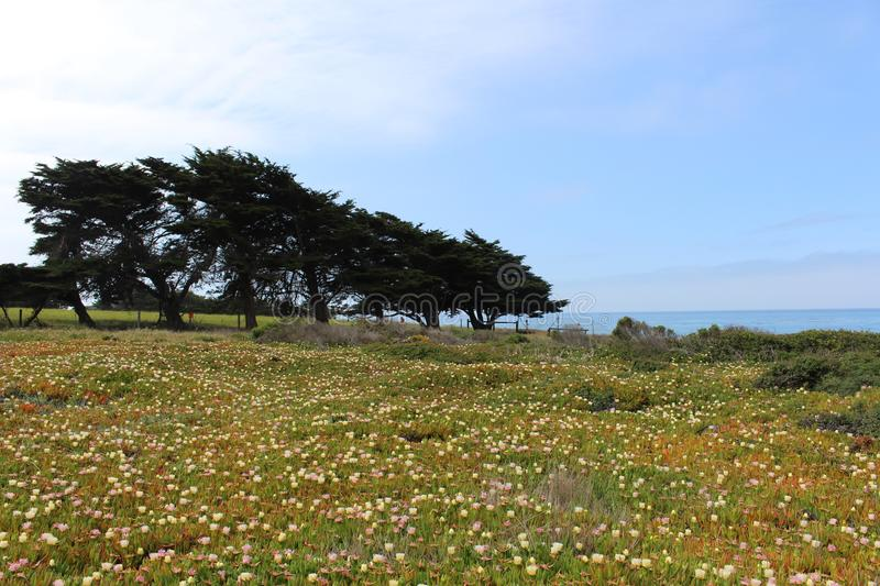 Field of Yellow and Pink Ice Plants with Trees. Field of yellow and pink ice plant flowers with large tree in the background in Cambria, California royalty free stock photos