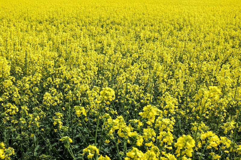 Field of yellow plants stock image