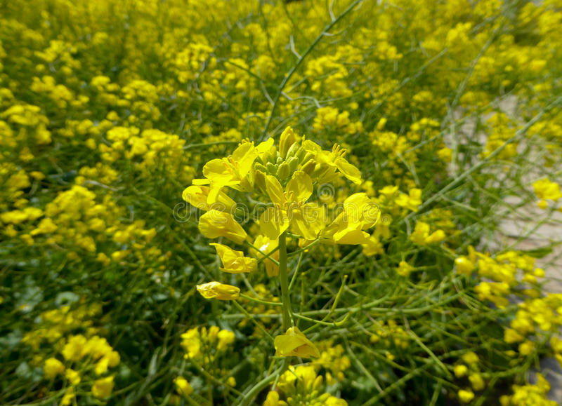 A field of yellow rapaseed flower stock photo
