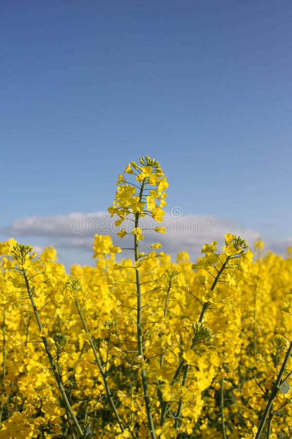 A field of yellow seed stock photography