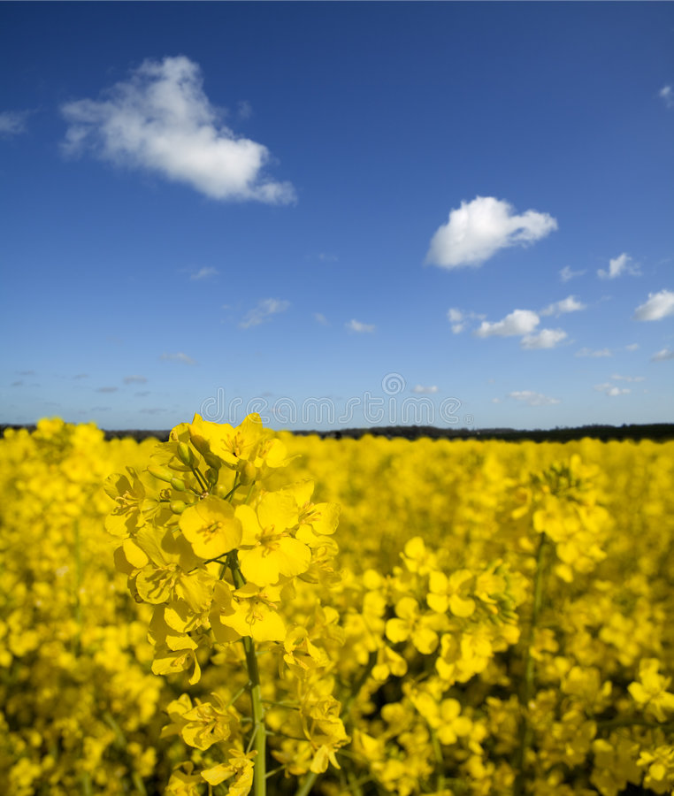 Field of Yellow Rapeseed royalty free stock photography
