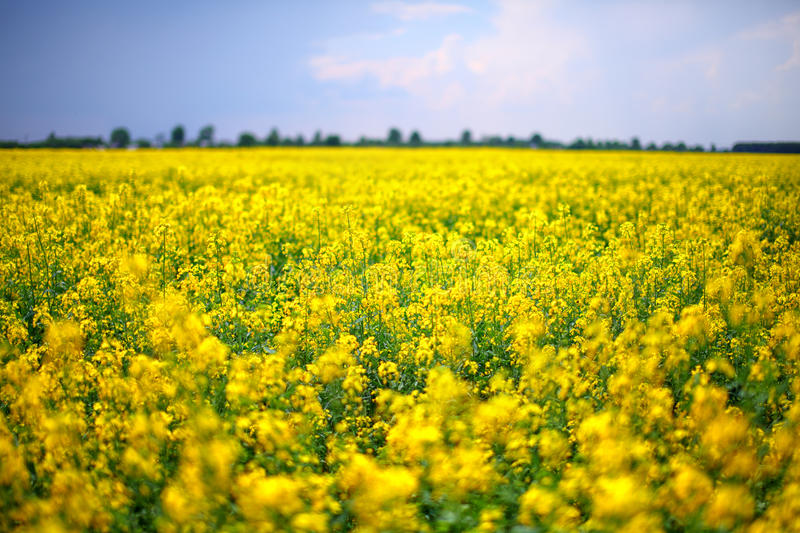 A field of yellow rapeseed flowers. Rapeseed (Brassica napus), also known as rape, oilseed rape, rapa, rappi, rapaseed, canola, is a bright-yellow flowering stock photo