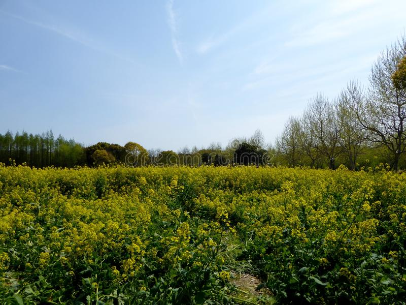 A field of yellow rapeseed flowers royalty free stock photos