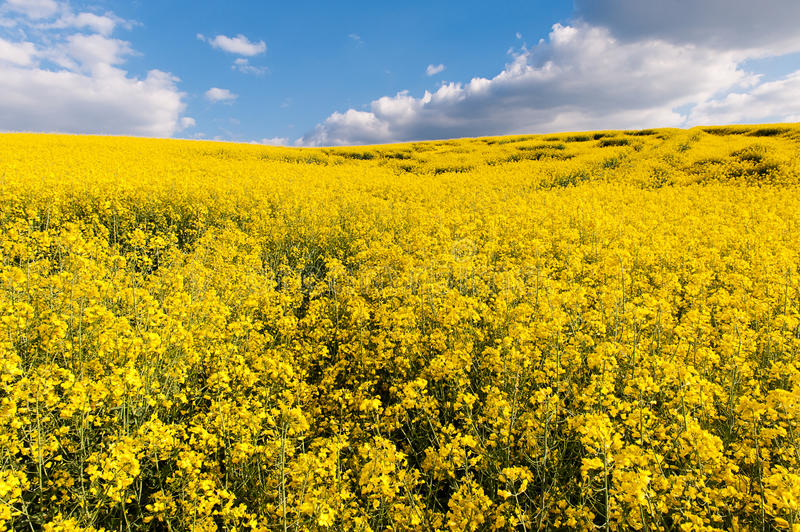 Field of yellow rapeseed oil stock photo