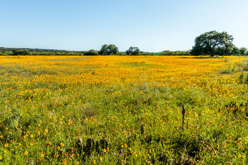 Field of Yellow Texas Wildflowers royalty free stock image