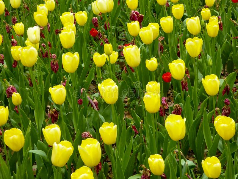 A field of yellow tulips blooming in early spring royalty free stock photography
