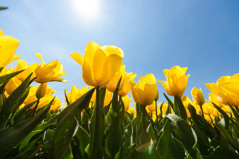 Field with yellow tulips and bright sunny atmosphere. Field with special yellow tulips against blue sky and bright backlight. Photographed from below as frog stock photos