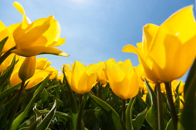 Field with yellow tulips and bright sunny atmosphere. Field with special yellow tulips against blue sky and bright backlight. Photographed from below as frog stock image
