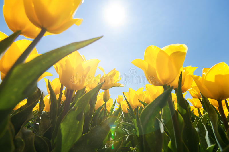 Field with yellow tulips and bright sunny atmosphere. Field with special yellow tulips against blue sky and bright backlight. Photographed from below as frog stock images