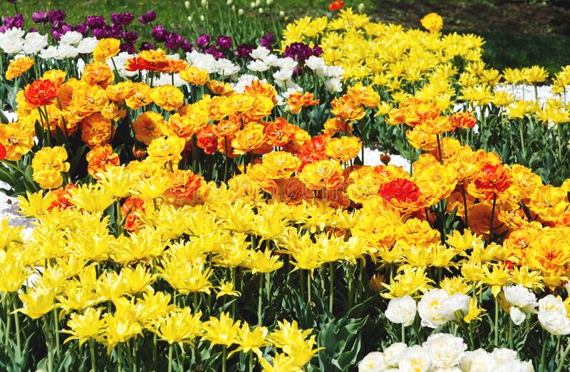 Field of yellow tulips with selective focus. Spring, floral background. Garden with flowers. Natural blooming stock image