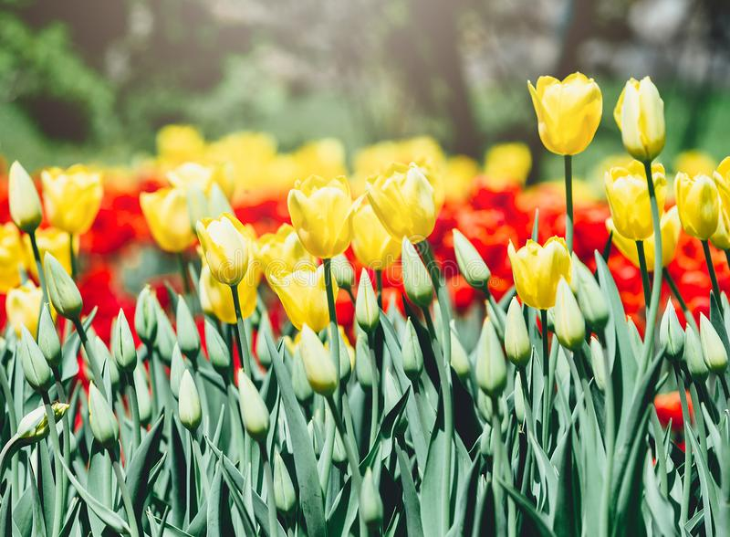 Field of yellow tulips with selective focus. Spring, floral background. Garden with flowers. Nature. Field of yellow tulips with selective focus. Spring, floral royalty free stock images