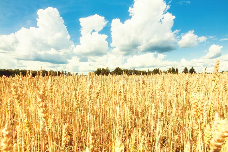 Field with yellow wheat and blue sky.  stock images
