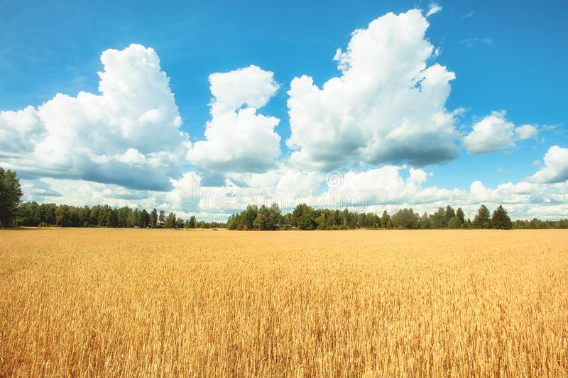 Field with yellow wheat and blue sky.  stock photos