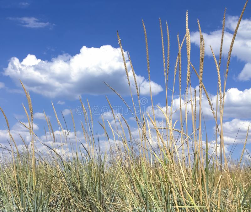 A field of yellow wheat grass against a bright blue cloudy sky  royalty free stock photo