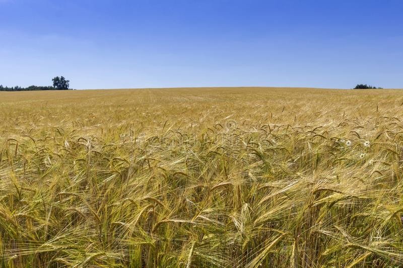 Field of yellow wheat under the blue sky and clouds. Field of yellow wheat under the blue sky and road from field.Golden wheat field with blue sky in background stock photos