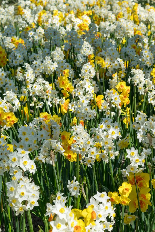Field with yellow and white daffodils.  royalty free stock image
