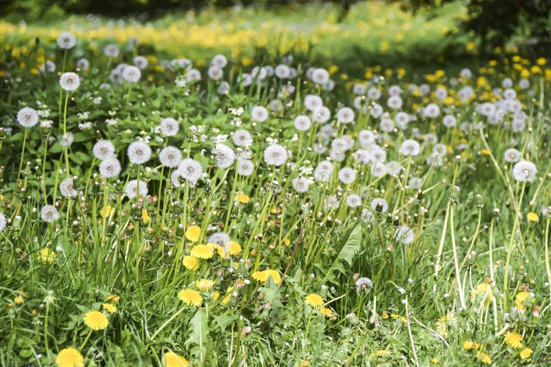 Field of yellow and white fluffy dandelions green meadow stock photography