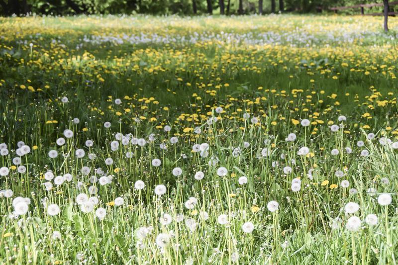 Field of yellow and white fluffy dandelions green meadow stock photos