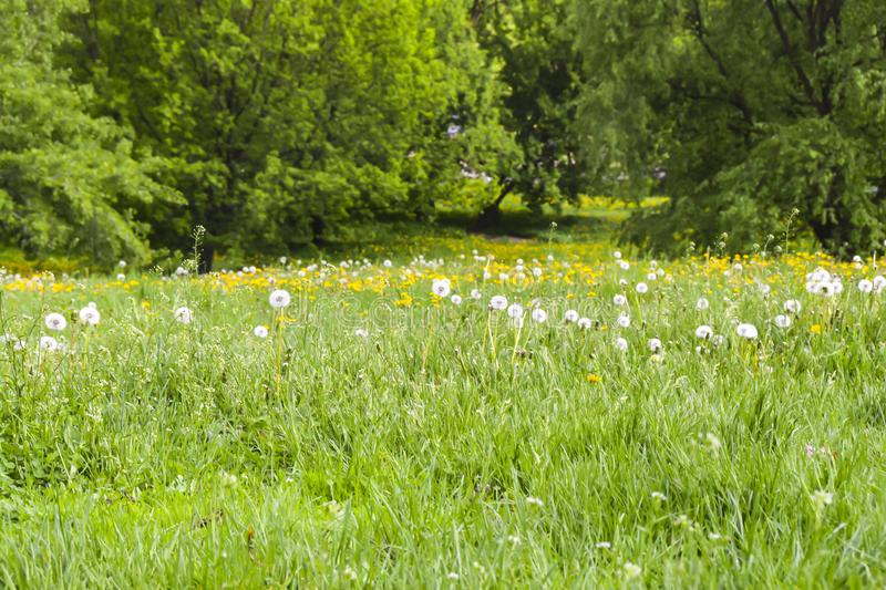 Field of yellow and white fluffy dandelions green meadow royalty free stock photo