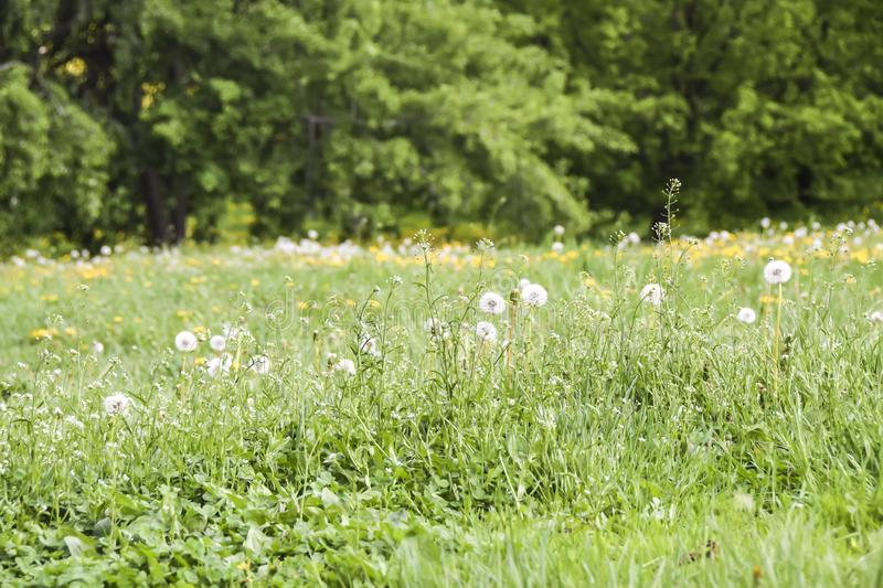 Field of yellow and white fluffy dandelions green meadow stock photo