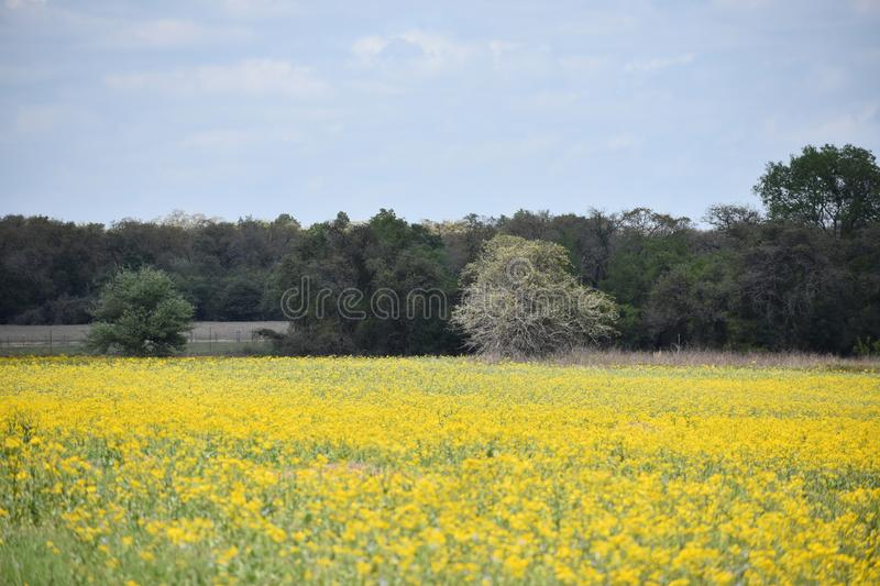 Field of yellow wild flowers in South Texas. This was taken in South Texas, while driving around looking for nice patches of flowers royalty free stock photos