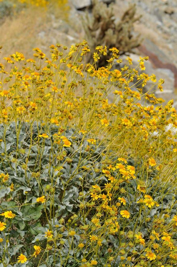 Field of Yellow Wildflowers in Full Bloom on Desert Floor stock photos
