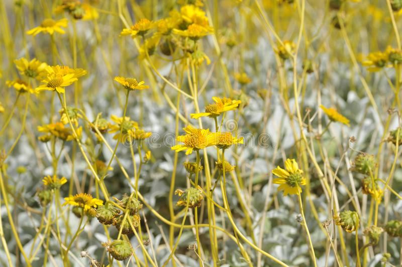 Field of Yellow Wildflowers in Full Bloom on Desert Floor stock image