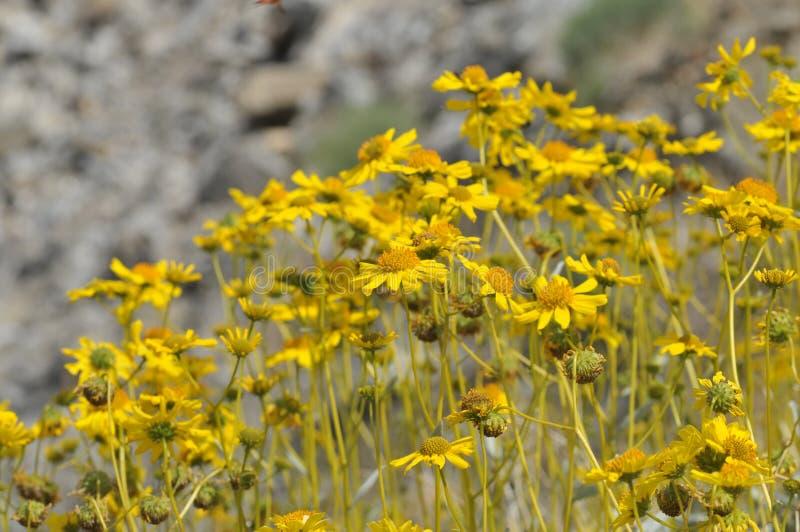 Download Field Of Yellow Wildflowers In Full Bloom On Desert Floor Stock Image - Image of bloom, travel: 99783365