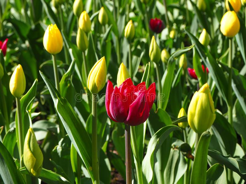 Field of yellow young tulips with a red tulip on the center of it. Buds of tulips with fresh green leaves on the sunny day royalty free stock images