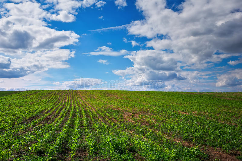 Field with young corn and blue cloudy sky royalty free stock photos