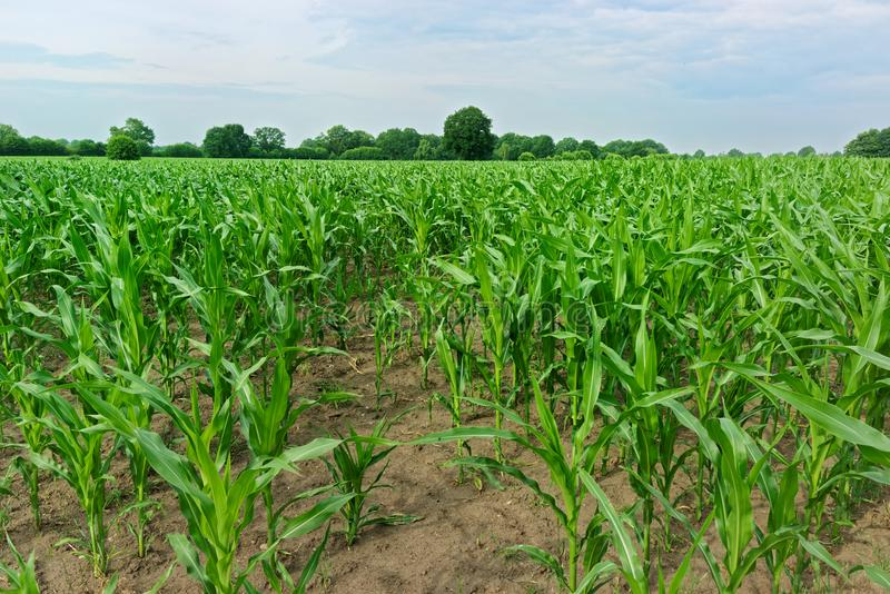 Field of young corn plants at agriculture farm against cloudy blue sky stock photos