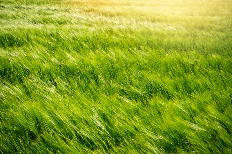 Field of young green barley in the wind before sunset, abstract nature stock photo