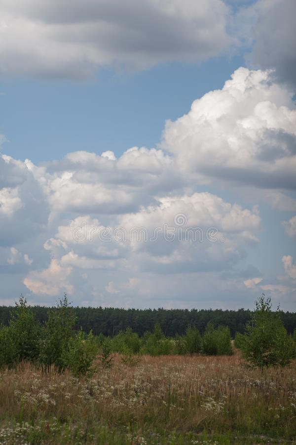 field with young growing birches and field white flowers, pastel grass on a background of pine forest with clouds against a blue stock photo