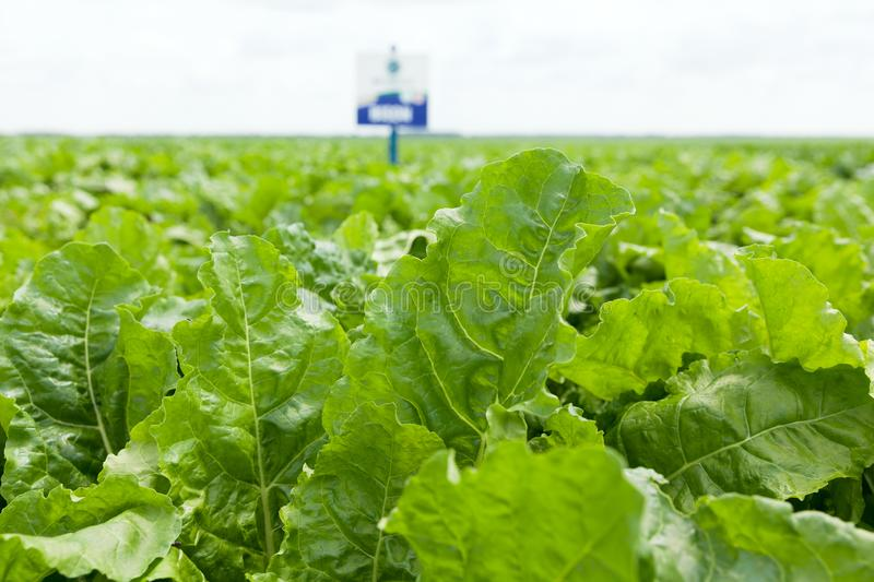 Field of young sugar beet plant. The cultivation of sugar beet stock photography