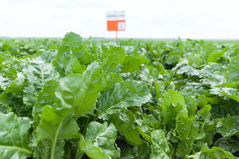 Field of young sugar beet plant. The cultivation of sugar beet stock images