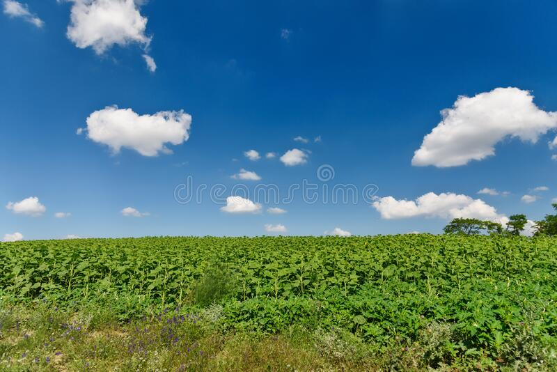 Field of a young sunflower during the formation of a hat. stock photography