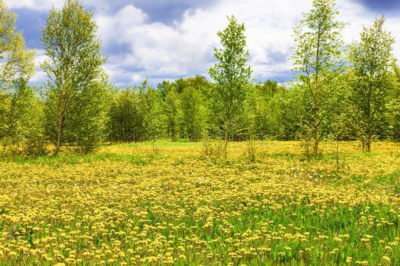 The Field z żółtymi dandelions, zielonymi drzewami i niebieskim niebem, obraz royalty free