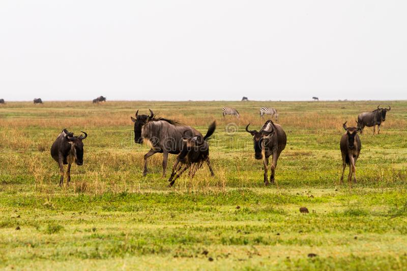 Field with zebras and blue wildebeest stock photos