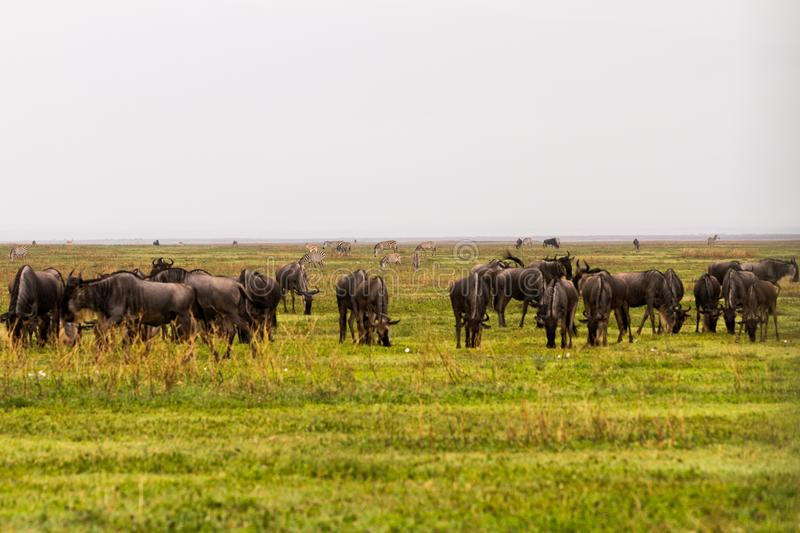 Field with zebras and blue wildebeest royalty free stock photos