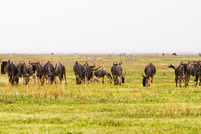 Field with zebras and blue wildebeest royalty free stock image